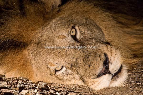 SA-LionPrideNight-copyright-www.lucentimagery.com-1