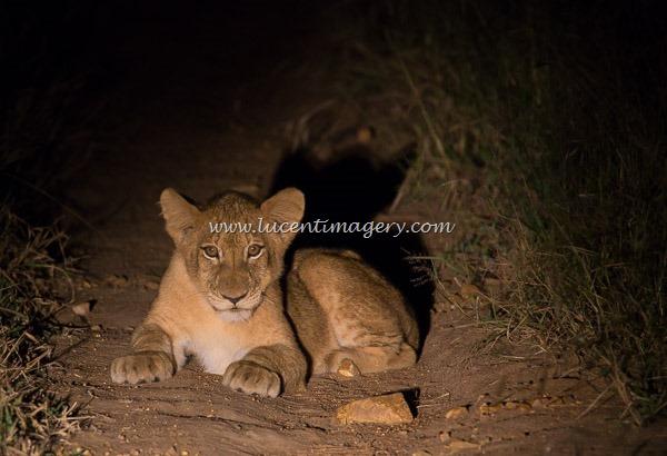 SA-LionPrideNight-copyright-www.lucentimagery.com-2