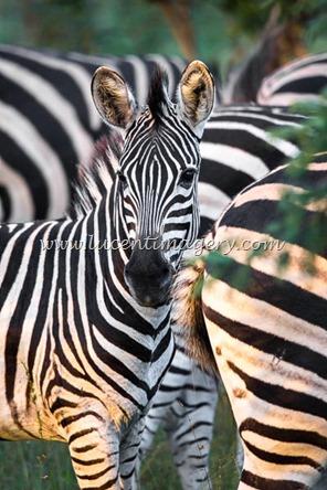 SA-safari-copyright-www.lucentimagery.com-3