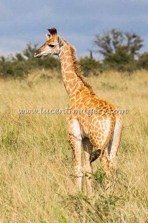 SA-safari-copyright-www.lucentimagery.com-5