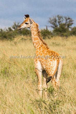 SA-safari-copyright-www.lucentimagery.com-5